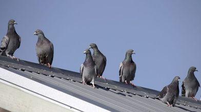 Eloignement des pigeons