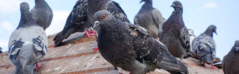 éloignement pigeons